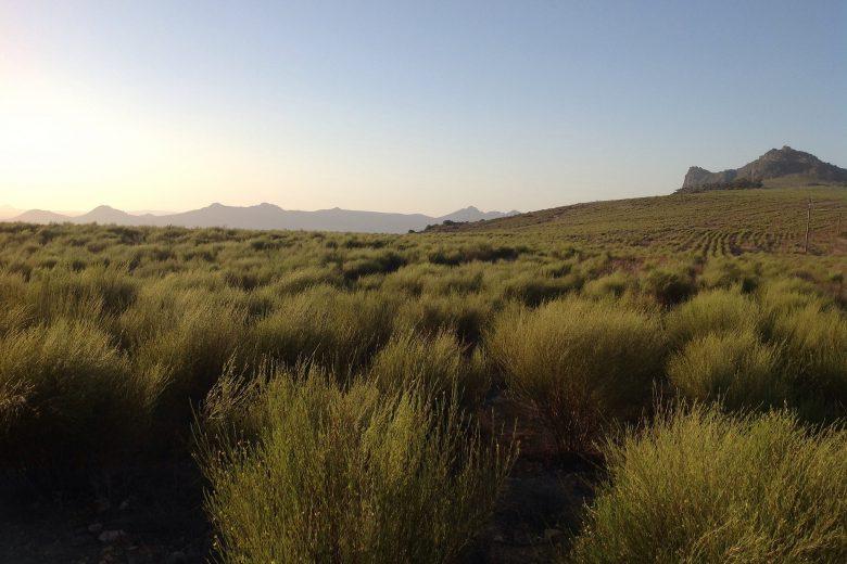 Rooibos veld Zuid-Afrika